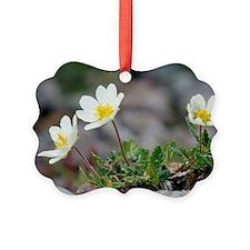 Mountain avens (Dryas octopetala) Ornament