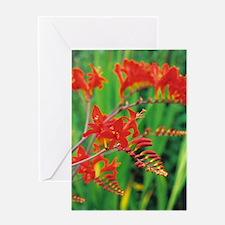 Montbretia flowers Greeting Card