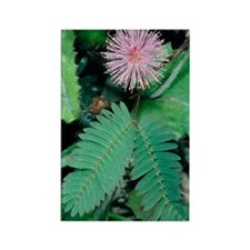 Mimosa pudica Rectangle Magnet