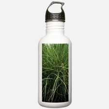 Miscanthus 'Morning Li Water Bottle