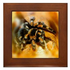 Mexican red-leg tarantula Framed Tile