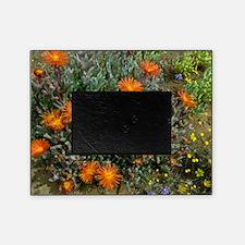 Mesemb (Malephora purpurea-crocea) Picture Frame