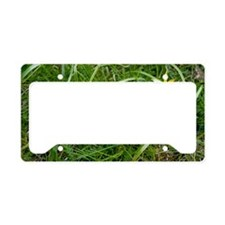 Meadow gagea (Gagea pratensis License Plate Holder