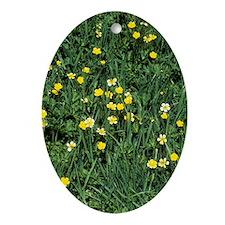 Meadow buttercup (Ranunculus acris) Oval Ornament