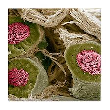 Maturing sperm, SEM Tile Coaster