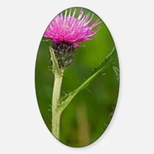 Meadow thistle (Cirsium dissectum) Decal