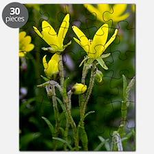 Marsh saxifrage (Saxifraga hirculus) Puzzle