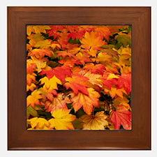 Maple (Acer japonicum vitifolia) leave Framed Tile