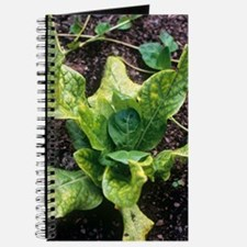 Mandrake (Mandragora officinarum) Journal