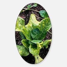 Mandrake (Mandragora officinarum) Decal