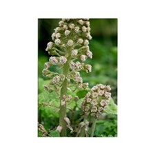 Male butterbur (Petasites hybridu Rectangle Magnet