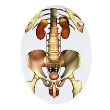 Male uro-genital system, artwork Oval Ornament