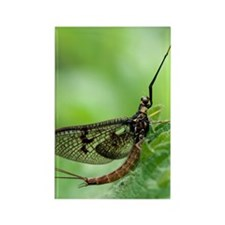Male mayfly Rectangle Magnet
