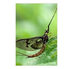 Male mayfly Postcards (Package of 8)