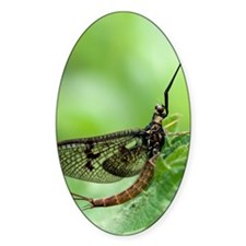 Male mayfly Decal