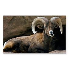 Male Desert Bighorn Sheep Decal