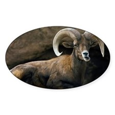 Male Desert Bighorn Sheep Decal