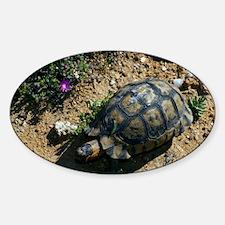 Male angulate tortoise Decal