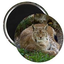 Lynx Magnet