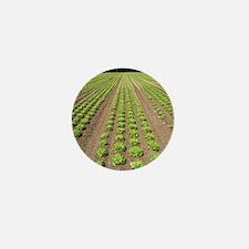 Lettuce crop Mini Button