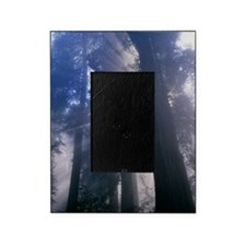 Light coming through redwood trees Picture Frame