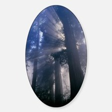 Light coming through redwood trees Sticker (Oval)