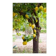 Lemon tree (Citrus limon) Postcards (Package of 8)