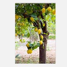 Lemon tree (Citrus limon) Postcards (Package of 8)