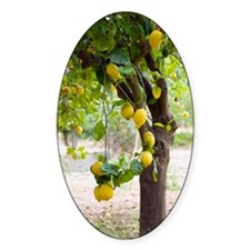 Lemon tree (Citrus limon) Decal