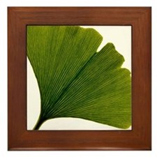Leaf of Ginkgo biloba Framed Tile