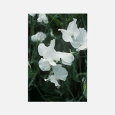 Lathyrus odoratus 'White Supreme' Rectangle Magnet