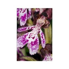 Lady Orchid (Orchis purpurea) Rectangle Magnet