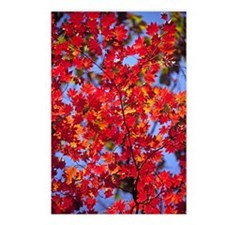 Korean maple (Acer pseudo Postcards (Package of 8)