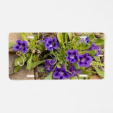 Karoo violets (Aptosimum in Aluminum License Plate