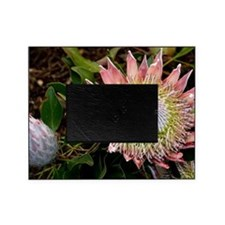 King protea (Protea cynaroides) flow Picture Frame