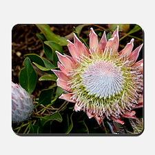 King protea (Protea cynaroides) flowers Mousepad