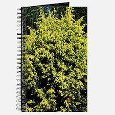 Juniperus communis 'Golden Showers' Journal