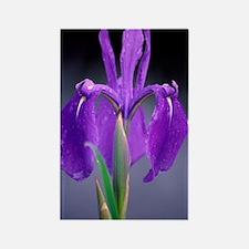 Japanese water iris (Iris laeviga Rectangle Magnet
