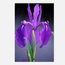 Japanese water iris (Iris Postcards (Package of 8)