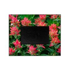 Indian paintbrush flowers Picture Frame