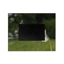 Dandelion blowing in wind Picture Frame