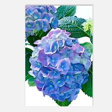 Hydrangea (Hydrangea macr Postcards (Package of 8)