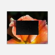 Hybrid tea rose (Rosa 'Can-Can') Picture Frame
