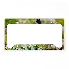 Hyacinthella heldreichii License Plate Holder
