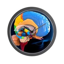 Human brain anatomy, artwork Wall Clock