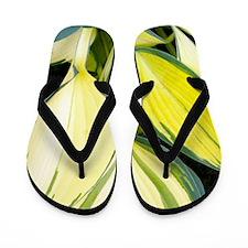 Hosta 'Remember Me' Flip Flops