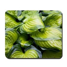 Hosta 'Stained Glass' Mousepad