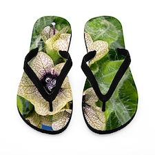 Henbane (Hyoscyamus niger) Flip Flops