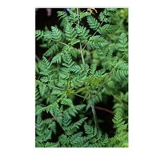 Hemlock (Conium maculatum Postcards (Package of 8)