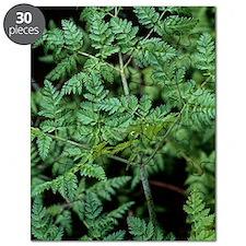 Hemlock (Conium maculatum) Puzzle